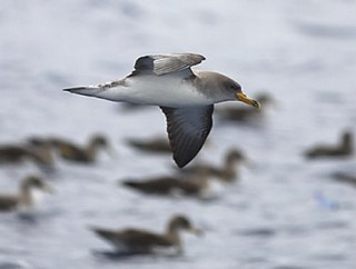 Cory's Shearwater Calonectris diomedea is easy to ...